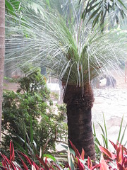 Xanthorrhoea glauca (Grass Tree) (guzhengman) Tags: hongkong october 2007 grasstree glauca centraldistrict xanthorrhoea xanthorrhoeaceae xanthorrhoeaglauca hkzbg