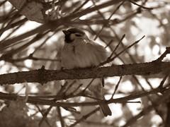 sparrow-sepia
