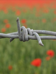 Remembrance (Capo2) Tags: field poppy poppies barbedwire remembrance oxfordsh