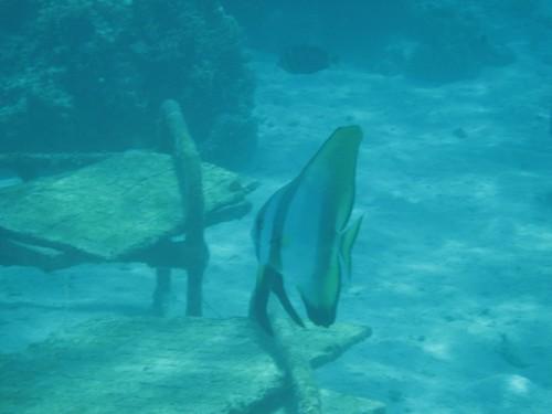 giant fish Makogai