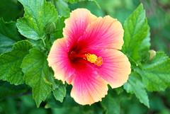 Hibiscus (libbylou1300) Tags: pink shell hibiscus keywestflorida anawesomeshot colorphotoaward impressedbeauty