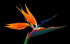 Bird of Paradise (janruss) Tags: flower floral hawaii paradise vivid birdofparadise hawaiian amazingtalent naturesgallery anawesomeshot colorphotoaward ultimateshot empyreanflowers naturewatcher colourartaward vividmasters artlegacy thebestvivid excellentsflowers janruss janinerussell