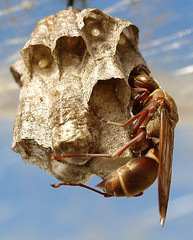 wasp update: closing up her nest chambers (ilsebatten) Tags: blue brown animal insect wings wasp nest eggs reproduction smorgasbord firsttheearth buzznbugz buzznbugs top30macro