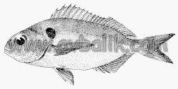 2054651111 457d901a98 mercan balığı nasıl avlanır