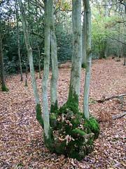 Hodgemoor Wood oak coppice (Stuart Kings) Tags: trees england woodland king stuart hills bucks beech chiltern rurallife chilternhills stuartking
