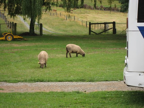 Sheep graze on Old MacDonald's Farm