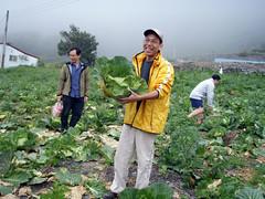 菜園摘高麗菜