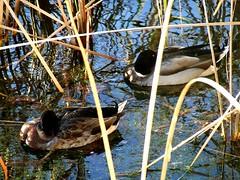 (Shane Henderson) Tags: ducks disneyworld baylake disneysboardwalk