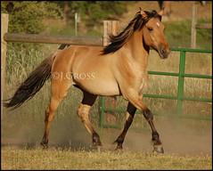 Mattie Skipping (MudRanch) Tags: horse mustang equine dun foal kiger kigermustang goldstaraward