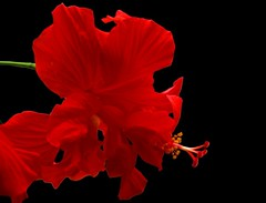 Red Hibiscus on black (MalayalaM) Tags: flowers red india flower topv111 bangalore hibiscus malvaceae hibiscusrosasinensis karnataka  malayalam37134561n00 shoeflower chinarose  bengaluru explored    pratika   japapushpam trisandhya   rudrapushpam