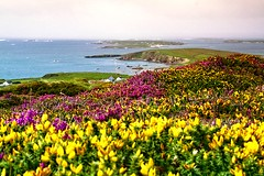 Galway Heather (Dave G Kelly) Tags: ireland sea seascape galway yellow landscape island coast purple heather connemara coastline skyroad gallimh davegkelly