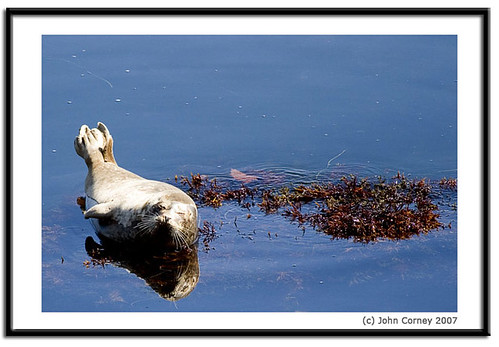 Monterey-Bay-Harbor-Seal