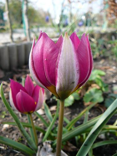 Tulpen 2008 (06)
