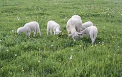 Ewe with quads