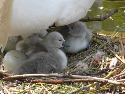 Cygnets on Surrey Water