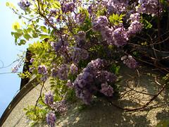 Wistaria (K_Liff) Tags: flower castle ukraine wistaria mukachevo zakarpattia
