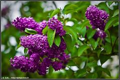 FLOWERS #1 (-Djil-) Tags: sky france flower fleur landscape 50mm spring nikon burgundy f14 sigma fisheye ciel 1750 105 d200 nikkor 50 paysage tamron fr bourgogne printemps f28 nevers nievre 105mm 50150mm 1750mm 50150