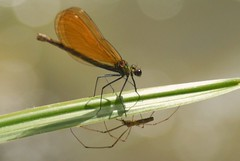 The Spider and the Damselfly (giansacca) Tags: friends spider dragonfly insects demoiselle damselfly topic insetti ragno libellula araneae odonata zygoptera beautifuldemoiselle calopteryxvirgo damigella digitalcameraclub aracnide donzella bokehlicious blauflgelprachtlibelle caloptryxvierge caballitodeldiabloazul agrionvierge