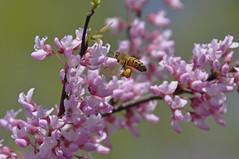 Burst of Spring (dbushue) Tags: pink sun green spring bokeh bees blooms rebirth renewal 2010 bursting naturesfinest coth supershot naturesgarden betterthangood natureselegantshots damniwishidtakenthat alittlebeauty mamasbloomers coth5 naturescarousel naturallywonderful dailynaturetnc11