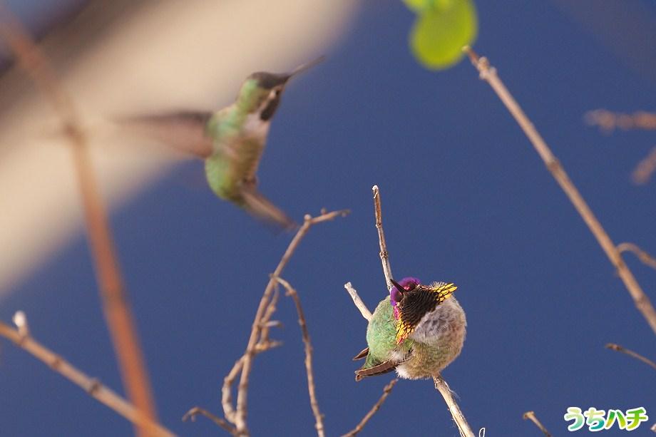 Anna's Hummingbird 010111-4