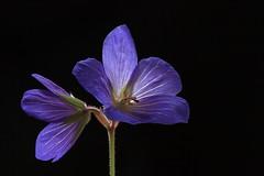 IMG_1640 (jgroepper) Tags: blue light flower beauty purple geranium himalayan cranesbill himalayense