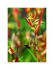 olive backed sunbird (illana_me) Tags: nikon d200 sunbird 80400vr