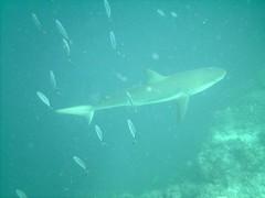 PICT0088 (JoseQ) Tags: blue mar hole great tiburones buceo caribe submarinismo tiburón