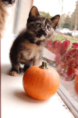 sweet little pumpkin - maddie
