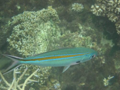 Makogai fish 5