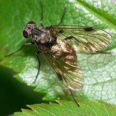 Female Snipe Fly - Chrysopilus cristatus (Walwyn) Tags: insect fly warwickshire diptera snipefly chrysopilus rhagionidae walwyn draycotemeadows chrysopiluscristatus taxonomy:binomial=chrysopiluscristatus profmoriartydotcom:book=278 profmoriartydotcom:book=349 profmoriartydotcom:book=348