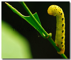 Butterfly soon (timm.schroeder) Tags: black macro green nature animal yellow butterfly insect stand australia dot lepidoptera caterpillar queensland soe supershot 10faves 25faves golddragon mywinners abigfave anawesomeshot specinsect diamondclassphotographer excapturemacro