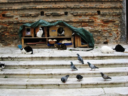 San Lorenzo cats with pigeons