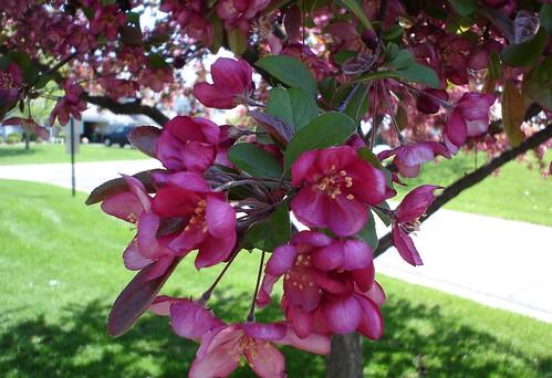 cherry_tree8