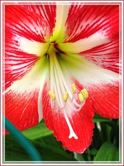Red flower with central white star, Hippeastrum 'Baby Star' at neighbour's backyard