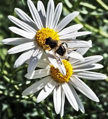 Margarita se llama mi amor...♫ (JMAB) Tags: parque white flower blanco yellow bug fly flor amarillo margarita abeja huelin bicho mosca málaga pétalos ltytr2 ltytr1