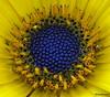 """Androceo de caléndula (CODIGO DE LUZ """"El Fotógrafo"""") Tags: planta amarillo margarita caléndula madro androceo clevercreativecaptures sinandro pisilos"""