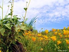 DESERT BLOOMS (lizardgal) Tags: flowers arizona hiking olympus explore wildflowers cavecreekregionalpark mikemimages2008