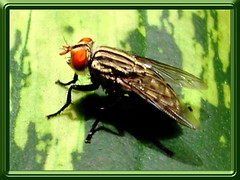 Flesh Fly (Sarcophaga spp.)
