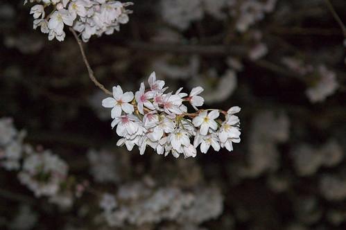 夜桜@松戸