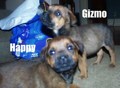 Gizmo & Happy (muslovedogs) Tags: dogs puppy mastweiler zeusoffspring myladyoffspring
