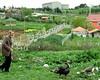 hindi ve tavuzkuşu çobanlığı (recepkulaber) Tags: ve ali hindi gökçe recep köyü çatalca kulaber sülün çobanı