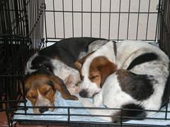 Beagles (raindog461) Tags: beagle dogs austin dogpark bragles