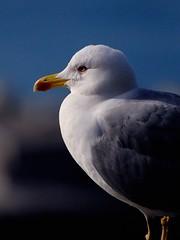 Seagull portrait (cienne45) Tags: friends italy liguria cienne45 carlonatale explore natale camogli birdwatcher exploreexset explore1336