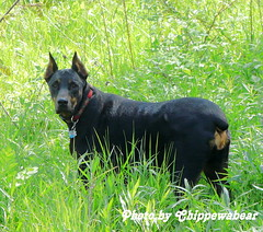 Darmok Of Tenagra (chippewabear) Tags: dog chien puppy doberman mansbestfriend companion doggies dobermanpinscher avision