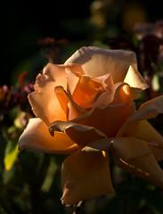 Evening (Kerri Afford) Tags: flowers roses flower beauty rose flora sony sonya bigmomma sonya100 sonyalpha acg1stplacewinner wonderfulworldofflowers