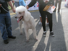 Punks and Poodle (seaotter22) Tags: white dogs punk converse poodle