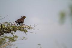 20160816-IMG_0421.jpg (AUWO) Tags: vögel lakemburonationalpark stephanoaetuscoronatus naturfoto africancrownedeagle uganda