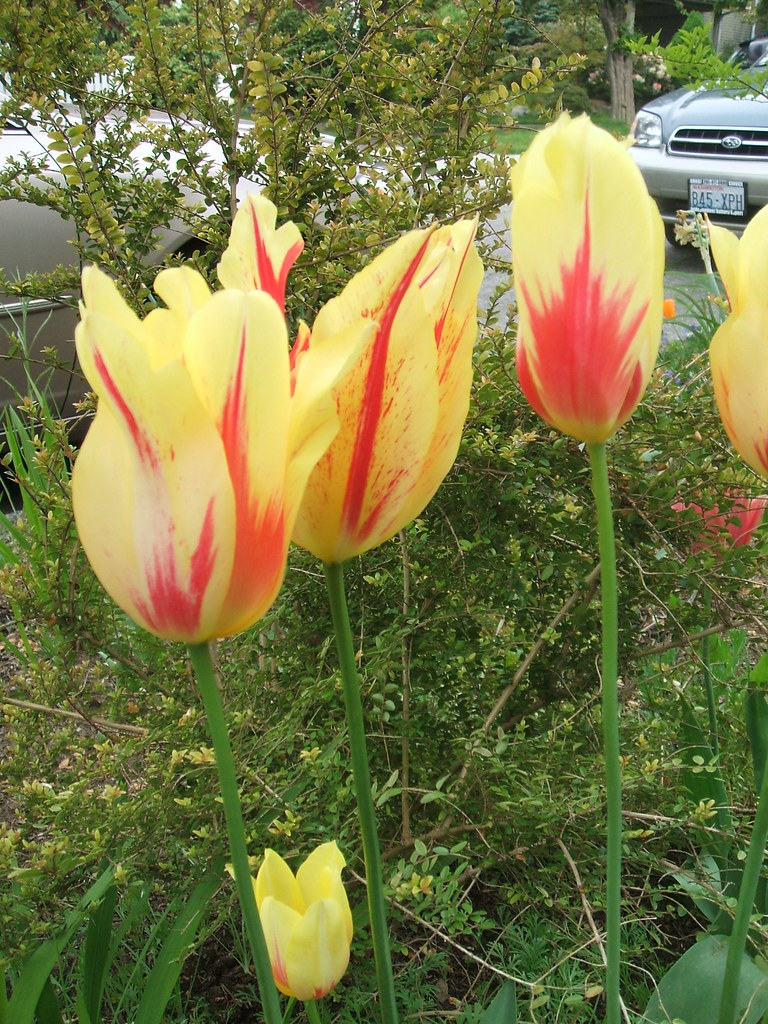 Striped flame tulips
