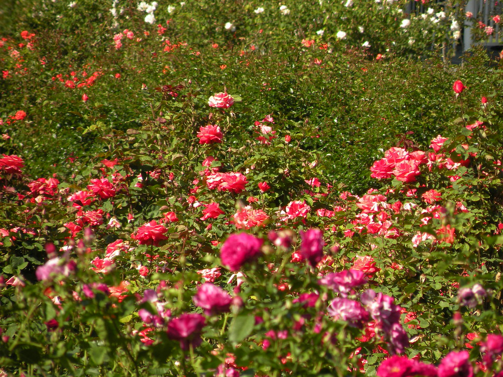 Has anyone been to the rose garden at Exposition Park? (Industry ...