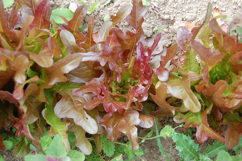 bronze arrow lettuce and weeds